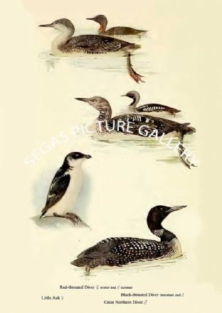 Red-throated Diver, Black-throated Diver, Little Auk  Great Northern Diver
